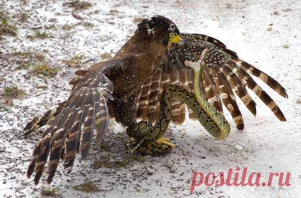 Схватка между хохлатым змееядом и питоном. Змея на фотографии скручена как пружина и готова к броску, зная, что единственная возможность выжить для нее заключается в нападении на гораздо большего орла.