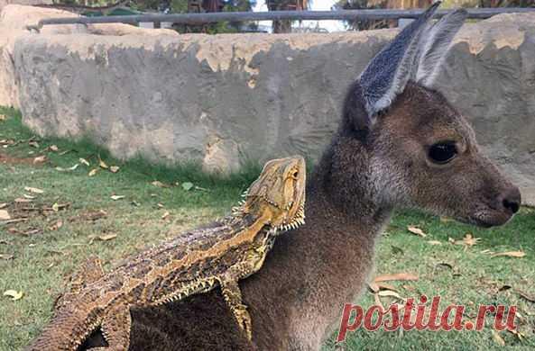 Кенгуренок-сирота по кличке Рози нашла неожиданного лучшего друга в лице бородатой агамы по имени Элиот