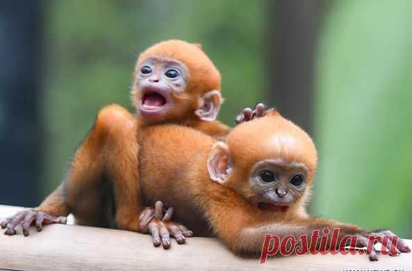 В Китае показали редких обезьянок