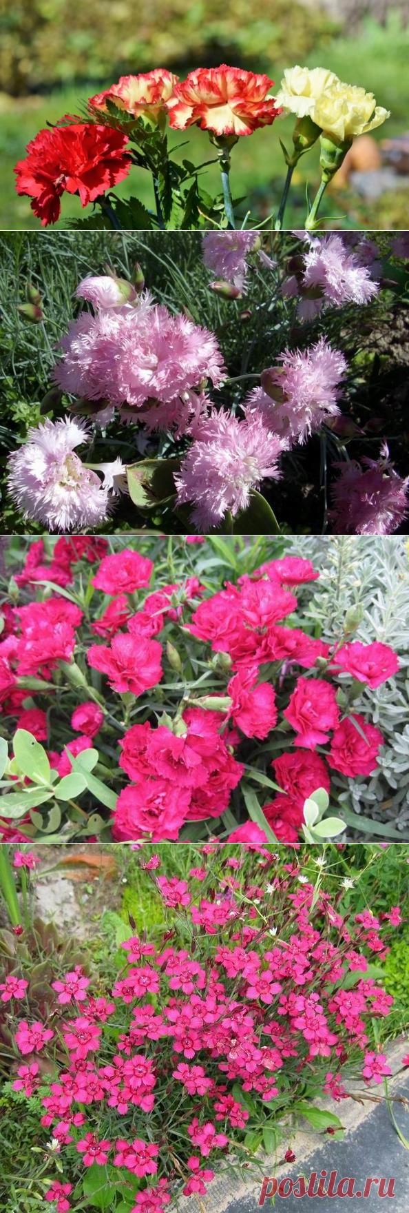 Как выращивать гвоздику в цветнике? Гвоздика перистая, китайская, травянка | Растения