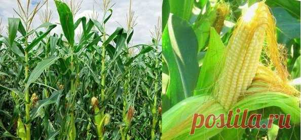 кукуруза_кукурузные_рыльца   Рецепты народной медицины