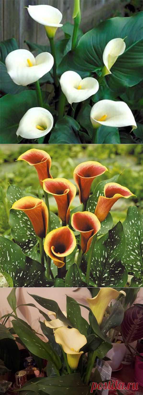 Комнатный цветок калла - так ли все просто в уходе за ним?