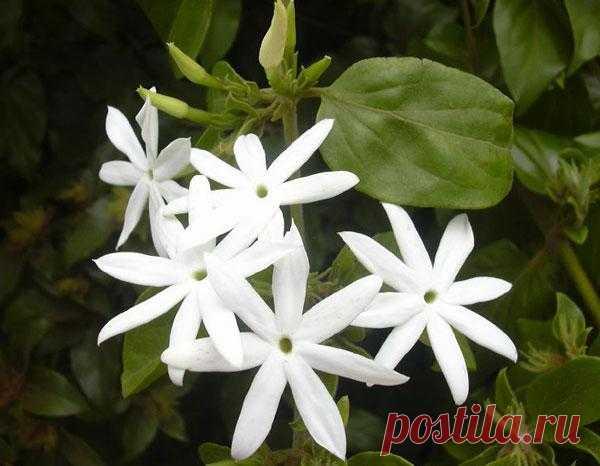 Комнатный жасмин и уход за ним Жасмин комнатный, растение, сочетающее в себе все достоинства, дорогие сердцу цветовода – любителя. Он и красивый, и неприхотливый, а самое главное – ароматный. Запах жасмина неповторим и незабываем! ...
