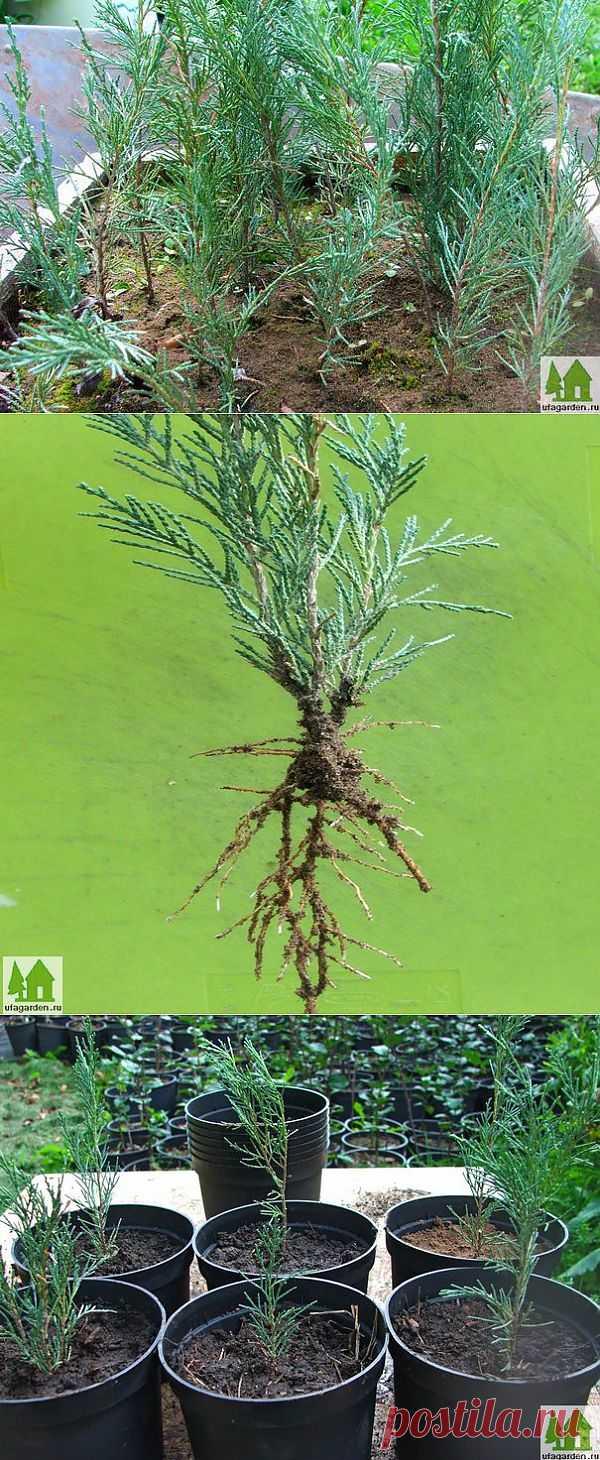 Укоренение черенков | Дачная жизнь - сад, огород, дача