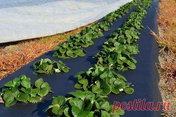 Агроволокно для клубники: плюсы и минусы посадки ягод на укрывной материал | Наша Дача | Яндекс Дзен