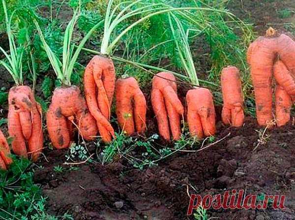 Почему у моркови корявые корнеплоды? | moyasotka | Яндекс Дзен