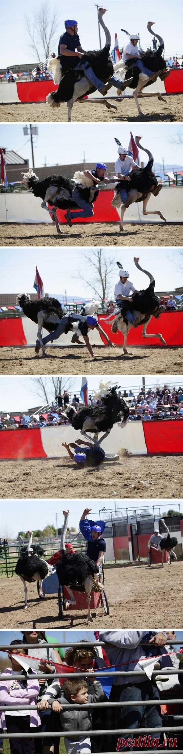Сумашедшие гонки на страусах! Фестиваль в Аризоне, США