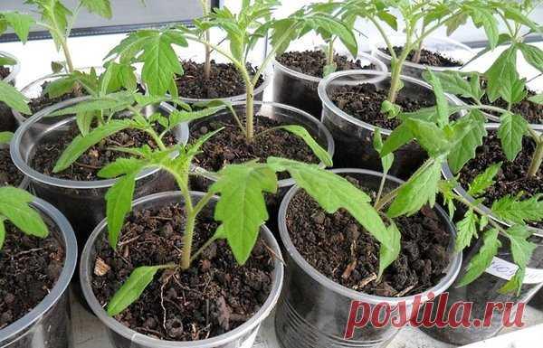 Правила внесения удобрений для рассады томатов | Советы огородникам | Яндекс Дзен