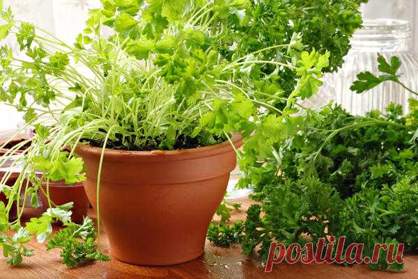 Выращивание петрушки на подоконнике: из семян, из корнеплодов