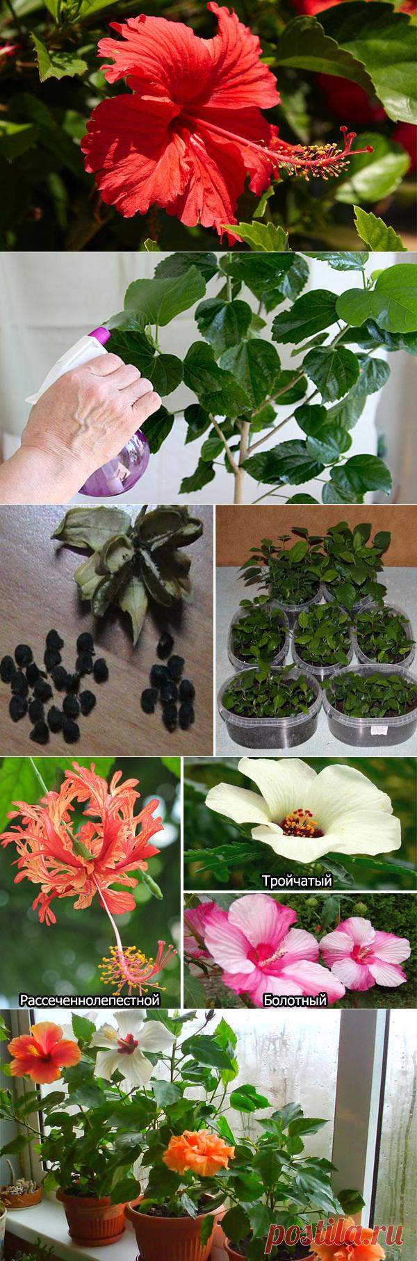 Цветок Гибискус: уход в домашних условиях, пересадка, размножение