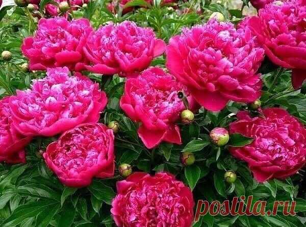 Почему так плохо цветут пионы. Грубые ошибки