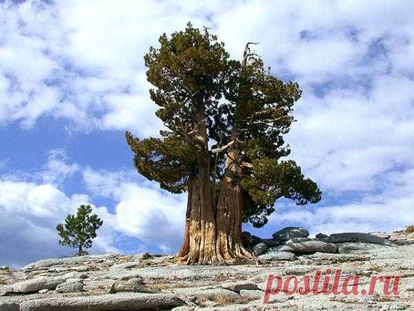Сосна Мафусаил. Ученые считают, что семечко, из которого проросло это дерево, упало в землю в 2832 году ДО нашей эры. Вам интересно, где оно растет?