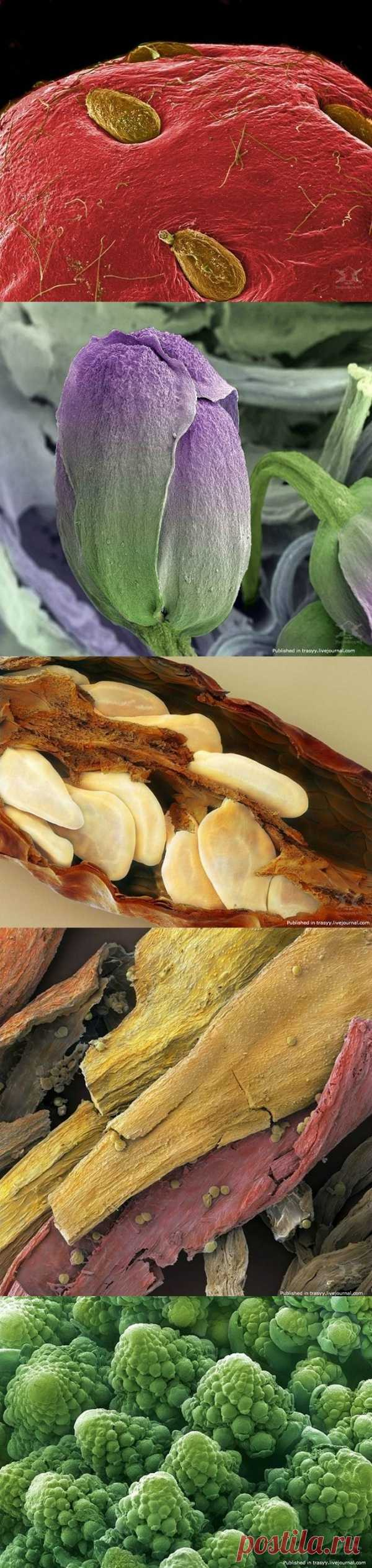 Клубника, брокколи, острый перец, шафран, цветная капуста и многое другое под микроскопом!