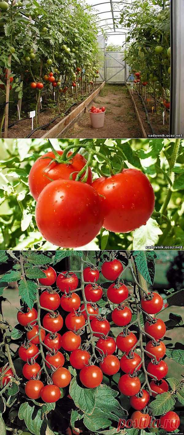 Помидоры:выращивание.Обмен опытом.