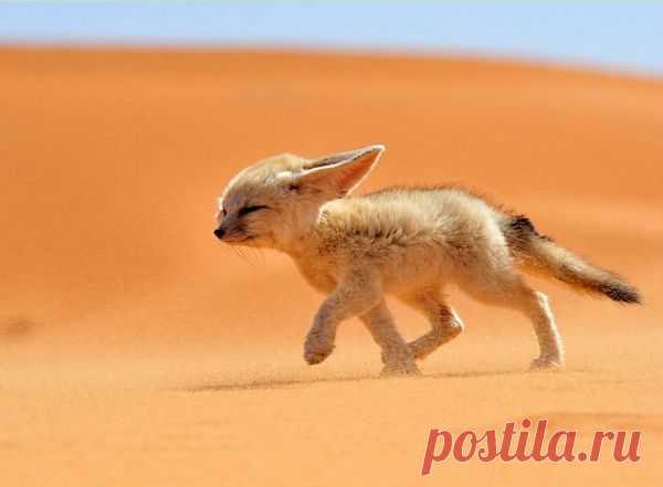 Лисичка - фенёк пустынный обитатель