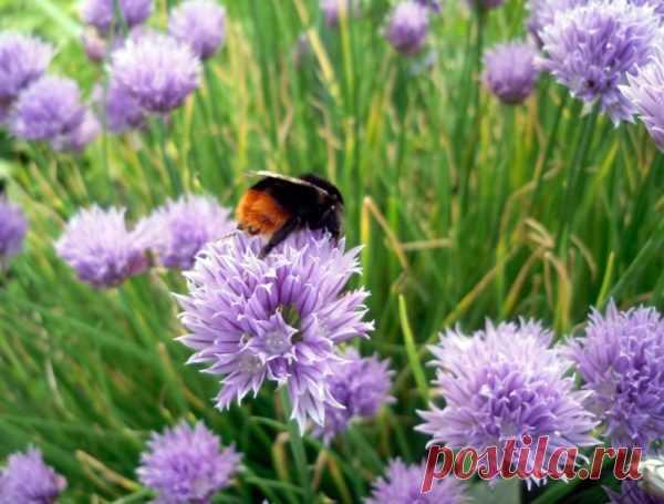 Шнитт-лук: полезная зелень и красивые цветы