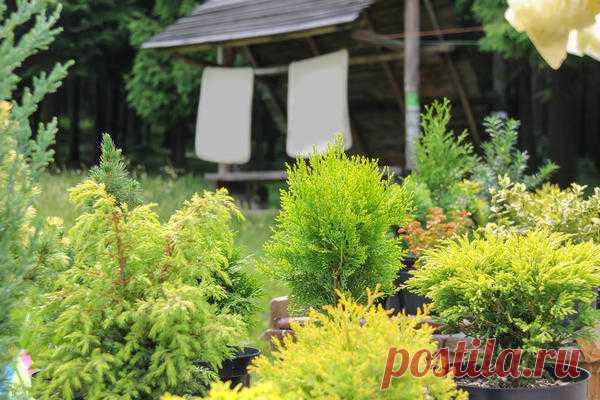 Landing of coniferous plants: 4 widespread mistakes
