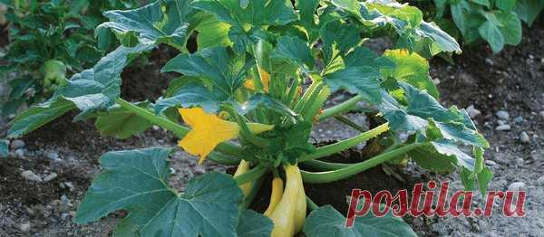 Советы огородникам. Прореживаем листья для хорошего урожая кабачков | Твоя усадьба | Яндекс Дзен