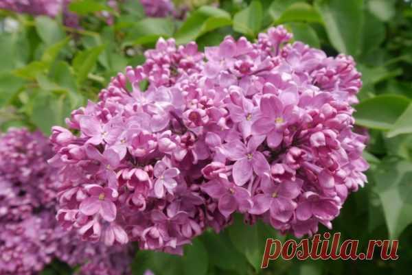 Уход за сиренью после цветения и осенью, подготовка к зиме: обрезка и подкормка Сирень — многолетний кустарник с яркими и пышными соцветиями-метелками. Поскольку нарядное растение обладает высокой декоративностью и абсолютно неприхотливо в уходе, его можно встретить почти в каждом дворе. Но для того чтобы сирень из привычного куста превратилась в усыпанное цветками изысканное растение, за ней нужно ухаживать не только весной, но летом, после цветения, а также осенью. […]