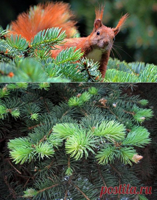 7 способов применения хвои на садовом участке | Полезно (Огород.ru)