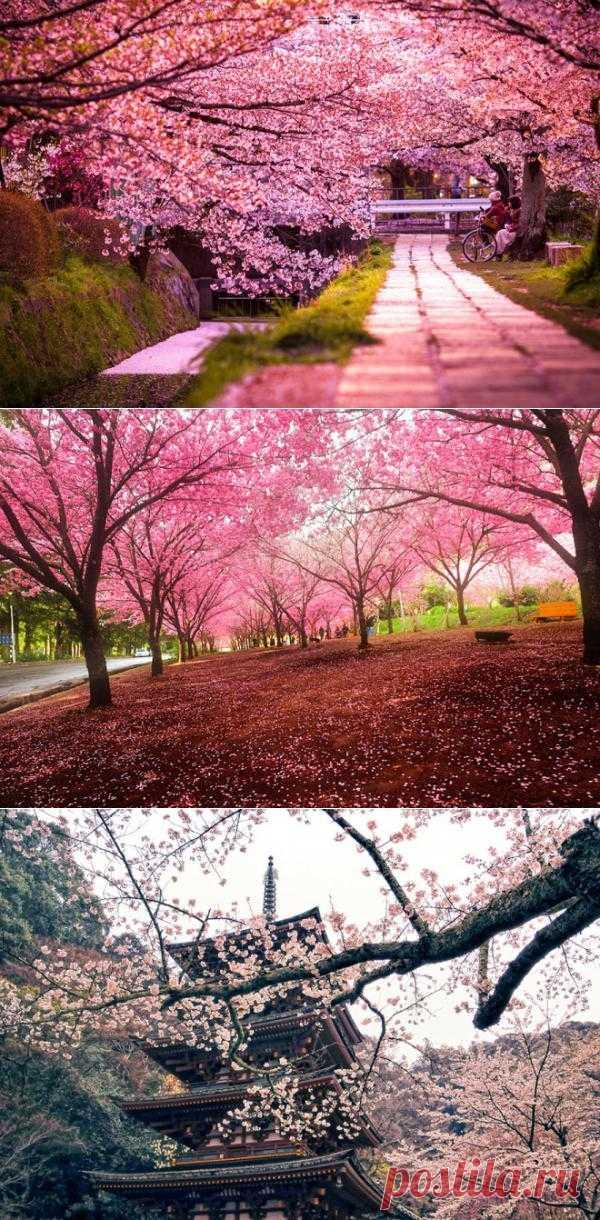 Вишнёвые сады Японии