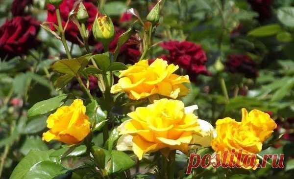 Почему розы болеют. 5 основных причин   Цветы в квартире и на даче – от Радзевской Виктории   Яндекс Дзен
