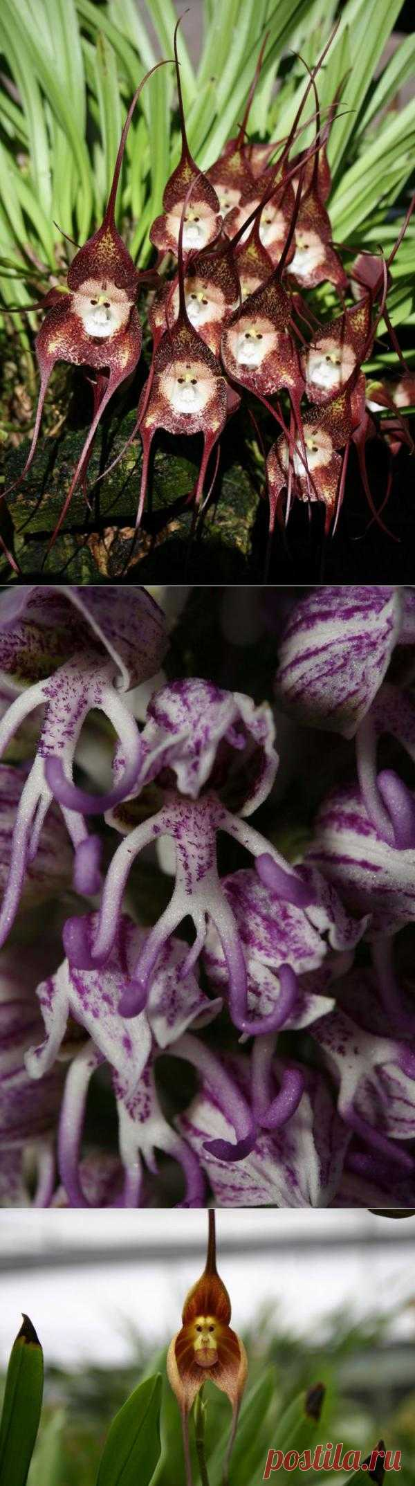 Обезьяньи Орхидеи
