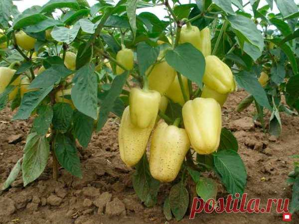 6 ошибок выращивания перцев | Твоя Дача | Яндекс Дзен