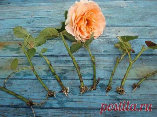 Ваши розы уже цветут? Не пропустите момент черенкования