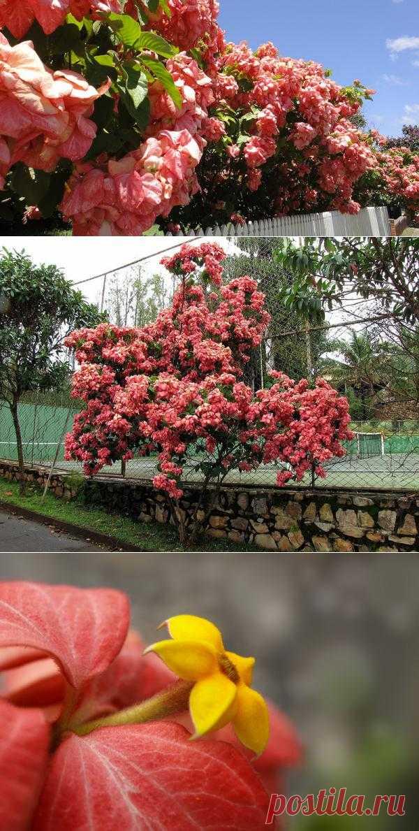 Красиво цветущая муссенда (Mussaenda).