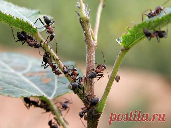 Манка против муравьев - эффективное и безвредное средство   садоёж   Яндекс Дзен