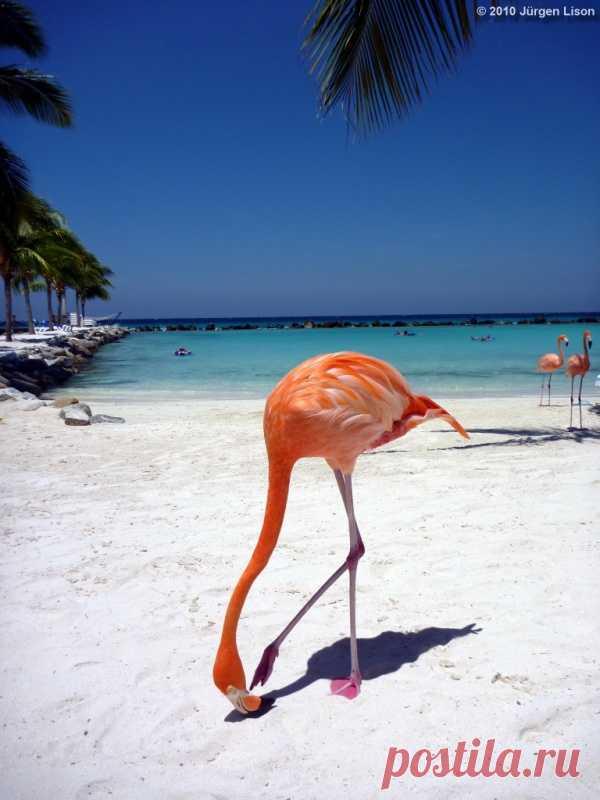 Здесь по пляжу гуляют фламинго. Остров Аруба