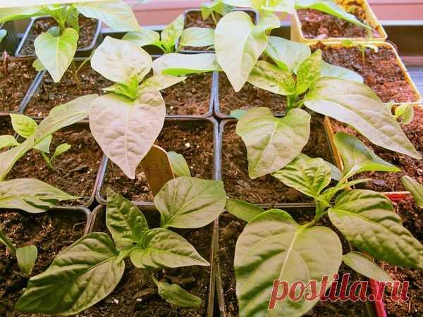 Несколько моих советов по выращиванию сильной рассады перцев и сбору богатого урожая