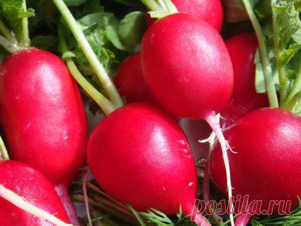 Как получить большой урожай вкусной и сочной редиски весной? | moyasotka | Яндекс Дзен