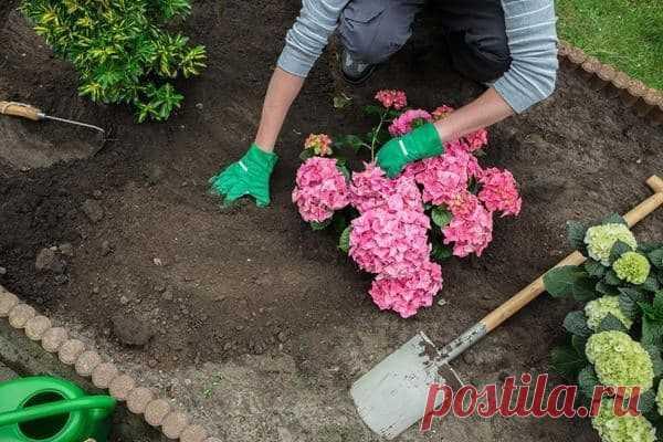 Как подкислить почву для гортензий