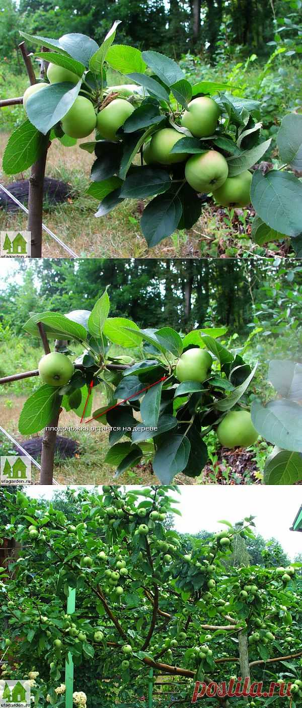 The fructifying apple-trees   Country life - a garden, a kitchen garden, giving