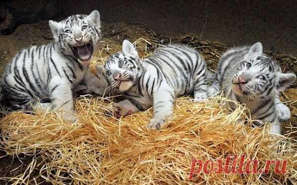 Тигрята-альбиносы | Kote.Rjaka.com