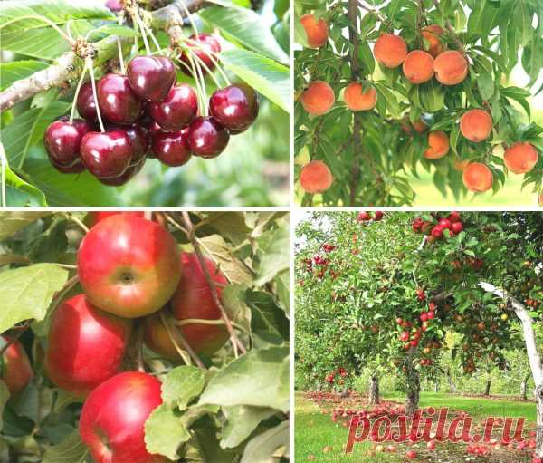 Какие плодовые деревья можно сажать рядом?