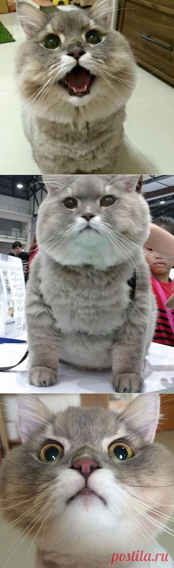 Это Бон-Бон, самый толстый и пушистый кот из Таиланда.