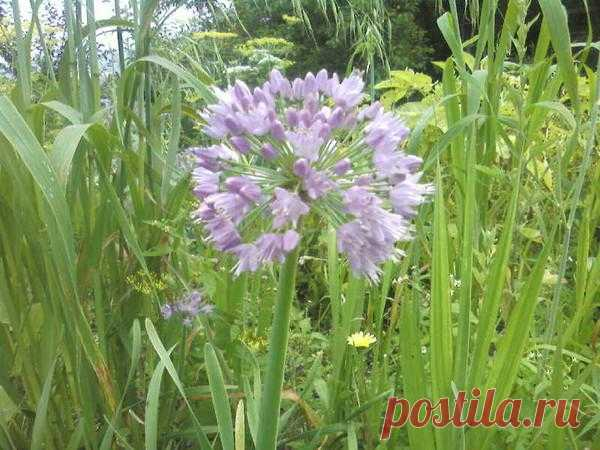 Блоги@Mail.Ru: Растения-защитники. Что с чем сажать.