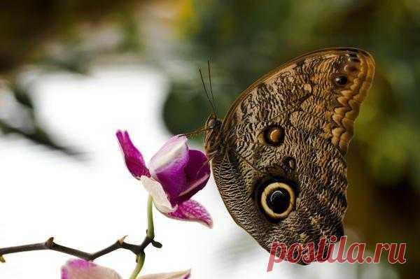 Постеры на стену / Животный мир / Бабочки — Бабочка Калиго
