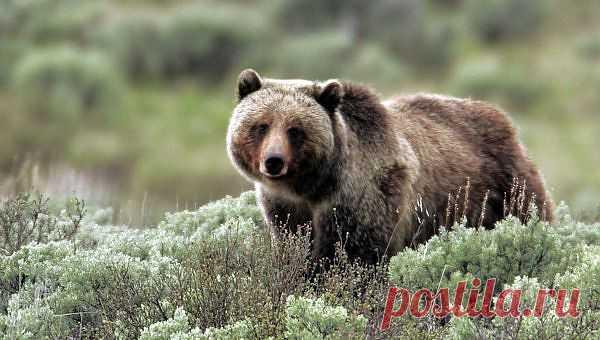 Возвращение волков в Йеллоустонский парк улучшило жизнь местных гризли | Уши, лапы, хвост