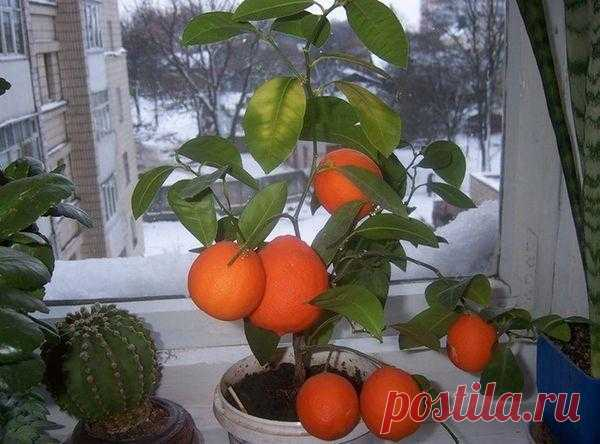 How to plant a tangerine tree in house conditions the soil Choice the Correct care of room tangerine assumes first of all the choice of suitable soil. For a citrus the special soil is on sale (rn has to be neutral: 6,5–7), but at reaped...