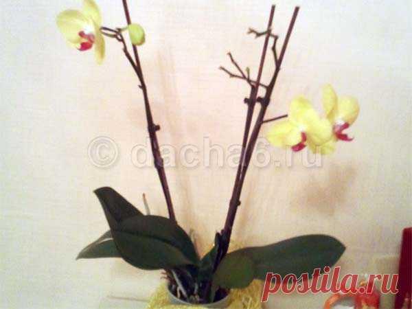 Как применять таблетки янтарной кислоты для орхидей