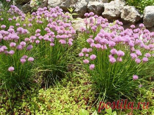 Шнитт-лук: ботаническая справка, выращивание и применение