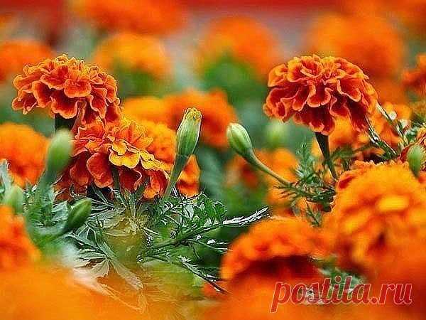 БАРХАТЦЫ СЕЕМ ВЕЗДЕ!  Мы привыкли, что сажаем цветы только для того, чтобы радоваться их красоте, аромату. И никогда не задумываемся, что некоторые из них приносят не только эстетическое удовлетворение, но и пользу. Вот, например, бархатцы (чернобривцы). Такие цветы чаще сажают в городе на клумбах, чем у себя на даче. Первое обусловлено тем, что цветы не прихотливы и цветут все лето, хотя и являются однолетними растениями. Второе, т.е. не любовь дачников к этому растению о...