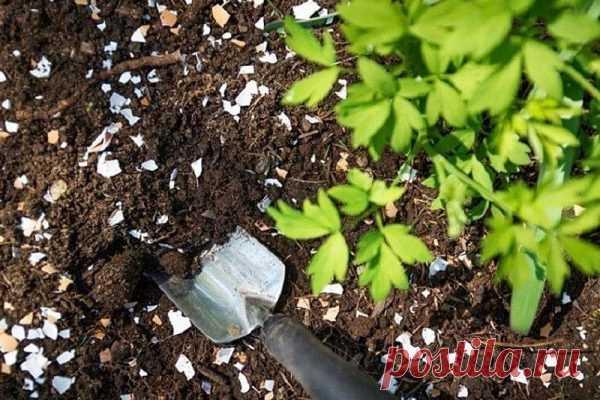 Яичная скорлупа. Польза в земледелии