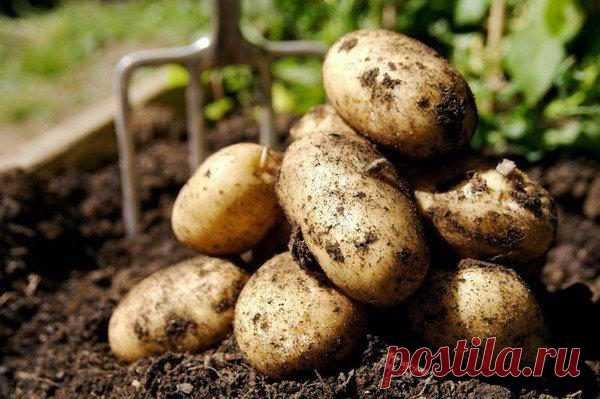 Простые секреты для отличного урожая картофеля