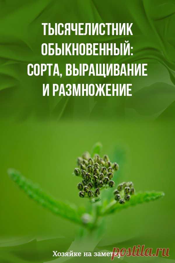 Тысячелистник обыкновенный: сорта, выращивание и размножение