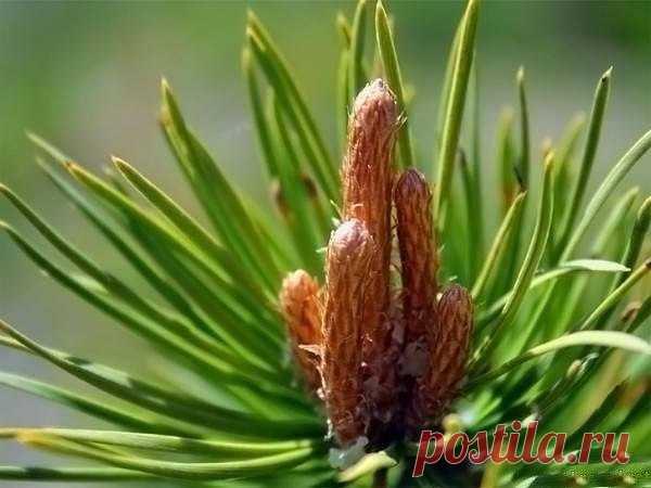 LA MIEL DE PINO: EL MEDIO ÚNICO DE LA TOS, LA ANGINA, EL RESFRIADO. \u000a¡Este medio único de la tos, la angina, los resfriados, es mejor cada jarabes de la farmacia! Su gusto insólito y el aroma es una respiración de la primavera, el don inestimable de \